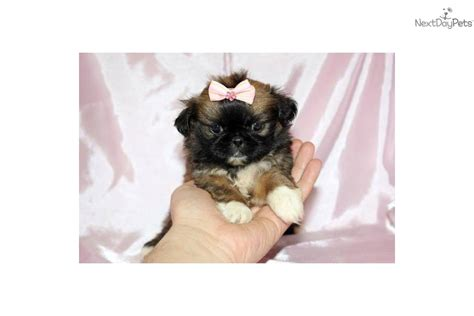 shih tzu puppies teacup pin teacup shih tzu puppy on