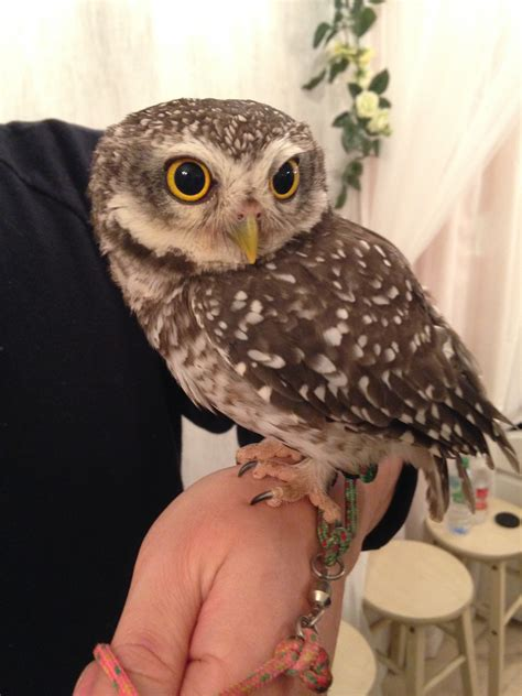 pet owl bing images