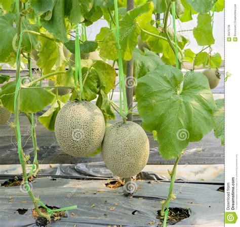 Plantation De Melon by Cantaloupe Plantation Stock Image Image Of Harvest