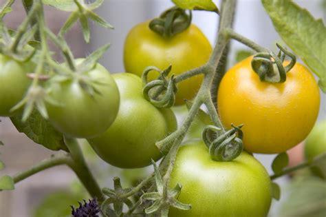 best tomato varieties to grow the top tomato varieties to grow gardenersworld