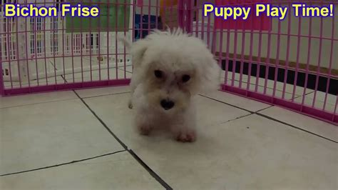 bichon frise puppies for sale craigslist bichon frise puppies dogs for sale in kansas city missouri mo 19breeders