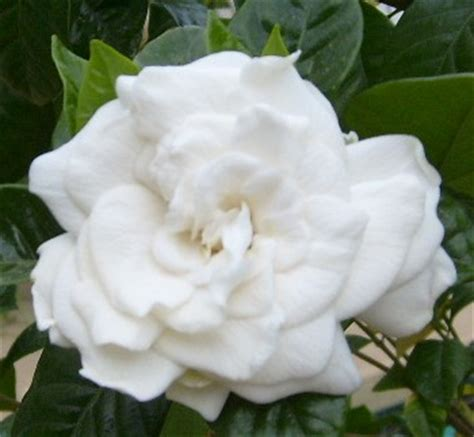 Gardenia Sf Fresh Gardenia Flowers A Material Luxury