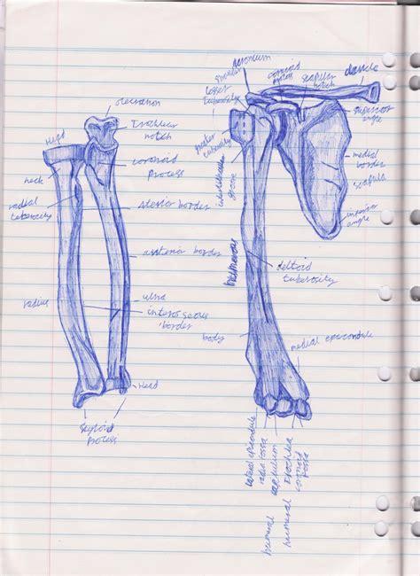arm bone diagram arm bone diagram by bd798 on deviantart
