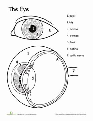 what part of the eye sees color awesome anatomy eye see worksheet education