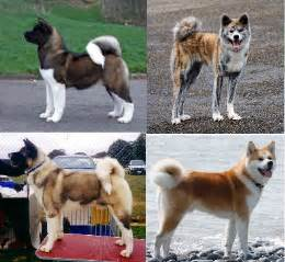 akita colors top 10 cutest japanese breeds