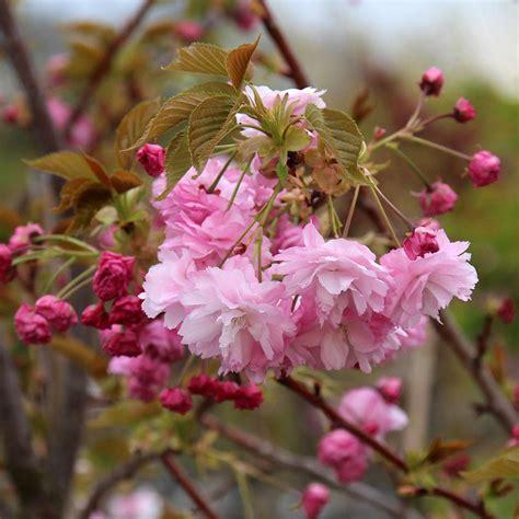 prunus pink perfection flowering cherry tree mail