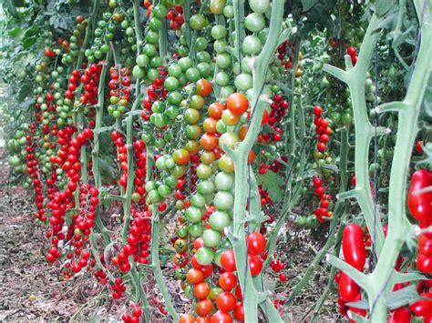 coltivare pomodori in vaso come coltivare il pomodoro in serra cosa devi sapere