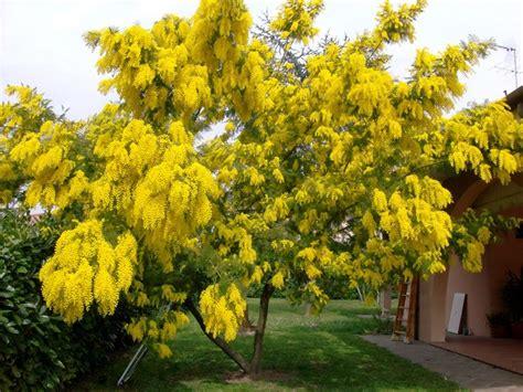 mimosa in vaso la mimosa acacia dealbata acacia dealbata piante da