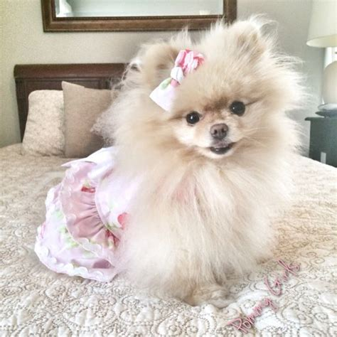 pomeranian clothes search and clothes on