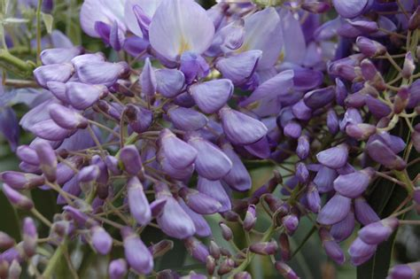 Wisteria Flower | wisteria sinensis landscape architect s pages
