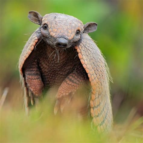 Smart Gadgets For Home by 13 Things You Didn T Know About Armadillos Mnn Mother