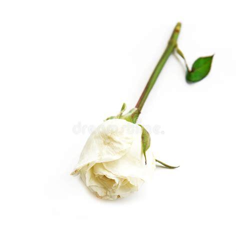 libro rosa blanca rose blanche rose blanche simple sur le fond blanc photo stock image du projectile rose 56517872