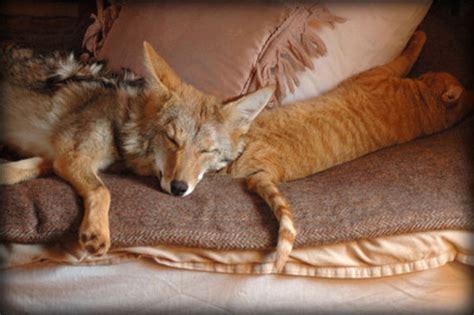 do coyotes eat dogs vegansaurus