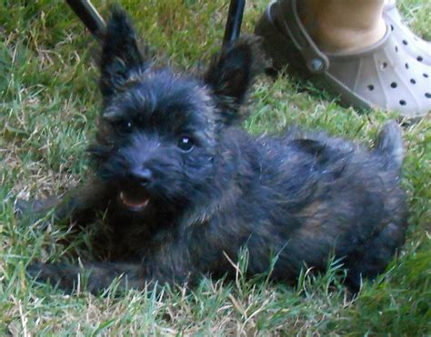 cairn terrier puppies black cairn terrier puppy www imgkid the image kid has it