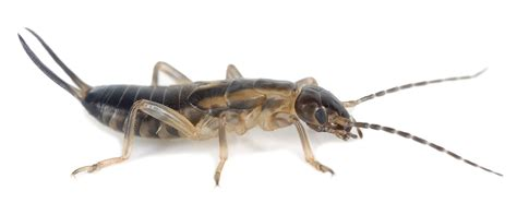 The Earwig. Interesting Facts and Effective Earwig Control ...