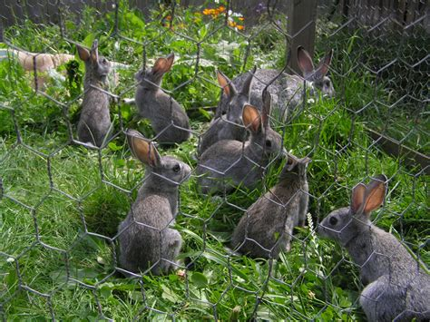 Rabbits In Garden by Rabbits In A Vegetable Garden Rabbit Repellents