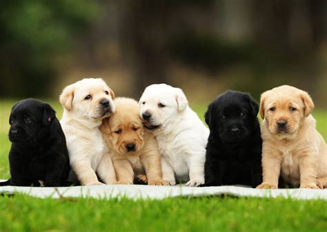picking a puppy from a litter how to choose a puppy from a litter alpha owners