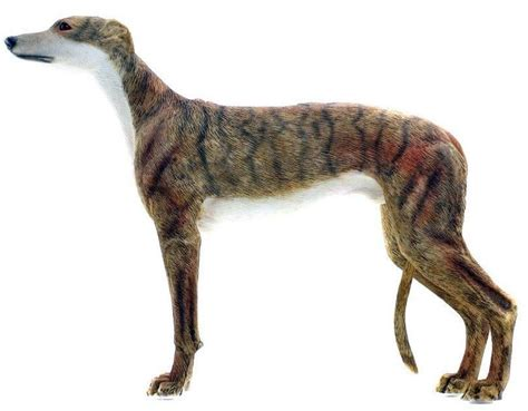 greyhound dogs greyhound breed information facts pictures temperament and characteristics