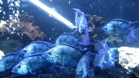 Electric Blue Bigsize big electric blue dempsey cichlids