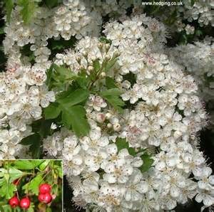 With small flowers in may followed by small red haws in autumn