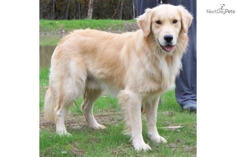 golden retriever service dogs golden retriever puppy for sale near binghamton new york f8925be8 3c31