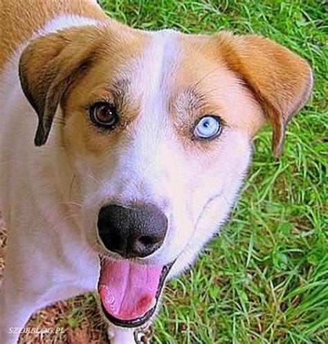 heterochromia in dogs sectoral heterochromia in dogs images