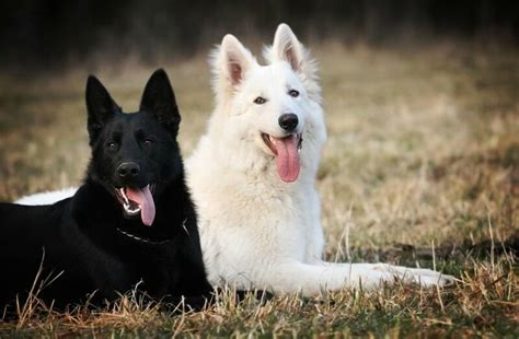 black and white german shepherd solid german shepherd white www pixshark images galleries with a bite