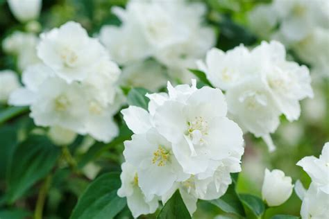 Bedroom Meaning by Jasmine Flower Meaning Flower Meaning