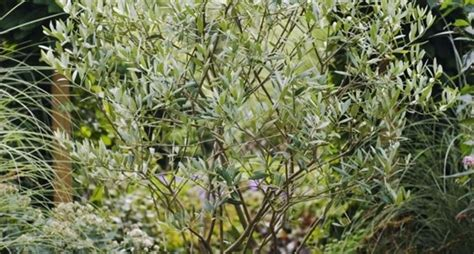 pianta ulivo in vaso ulivo in vaso alberi da frutto coltivare l ulivo in vaso