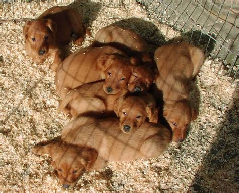 working golden retriever puppies working type golden retrievers history