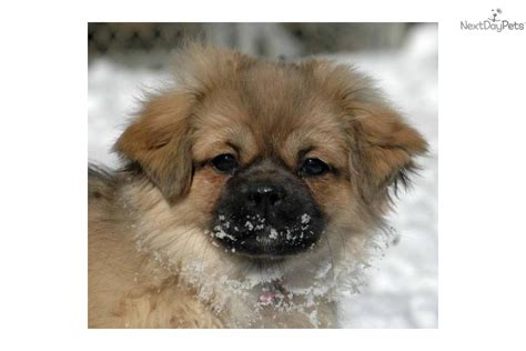 tibetan spaniel puppies sale tibetan spaniel for sale for 1 000 near boulder colorado 273e4f0a 8491