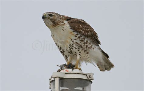 red tailed hawk eating its prey at the lake express ferry