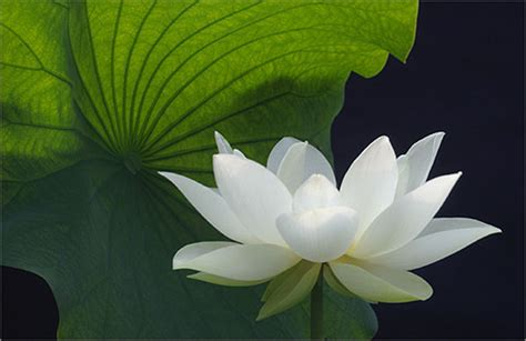 photos and kamal ka phool white lotus flower quot kamal ka phool quot artline feel the creation