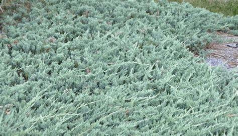 blue rug juniper ground cover blue rug spreading juniper 1 gallon ground cover 8 12 quot spread ebay