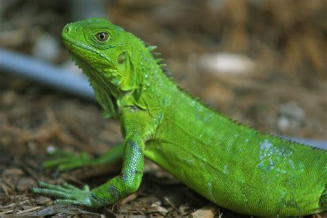 Reptile L by Reptiles Y Anfibios Los Amigos De Los Animales