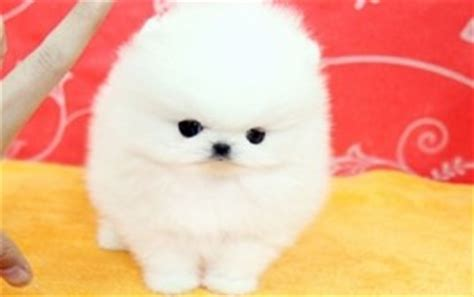 teacup pomeranian puppies for sale 250 301 moved permanently