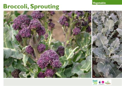 gardening guides sprouting broccoli gardening guides for teachers
