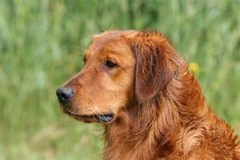 puppies for sale in la crosse wi onalaska la crosse wi puppies for sale
