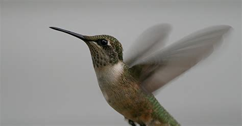 nature s notebook hummingbirds return to the valley