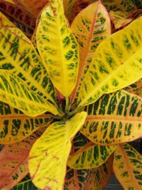 colourful foliage plants colorful tropical foliage plants croton plants and