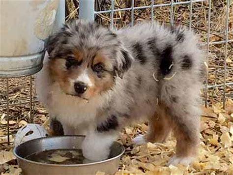 australian shepherd puppies az puppies jailhouse aussies australian shepherd puppies for sale in arizona
