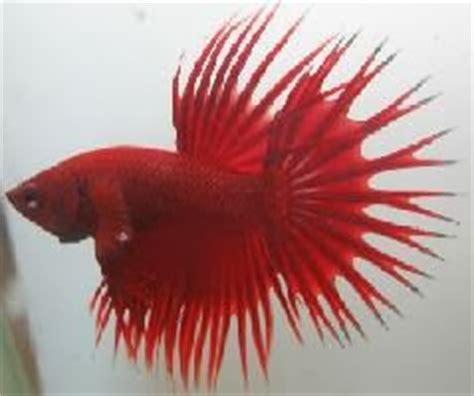 Pakan Ikan Cupang Serit ikan cupang serit dan perawatannya