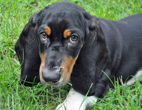 cheap basset hound puppies for sale oliver the basset hound puppies daily puppy