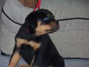 rottweiler puppies columbia sc rottweiler puppies in south carolina