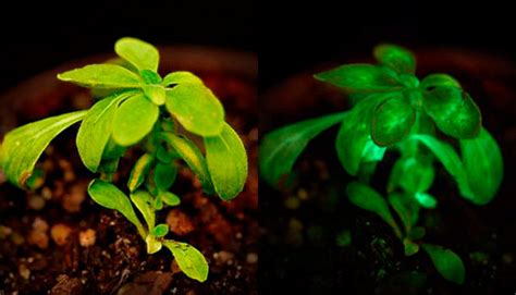 glow in the dark plants light up your life with glow in the dark plants michigan