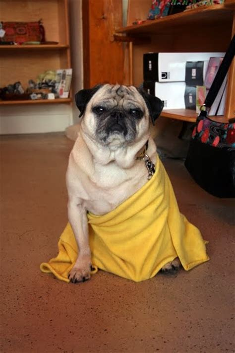 pug date 7 best images about buddhist pug on buddhist back to and learning