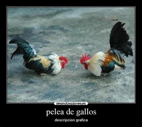 frases para gallos de rias pelea de gallos desmotivaciones