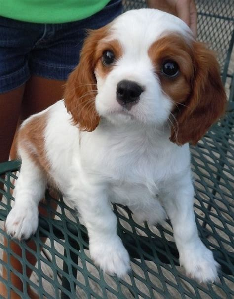 cavalier king charles spaniel puppies price cavalier king charles spaniel puppies for sale for sale in bradford cavalier king
