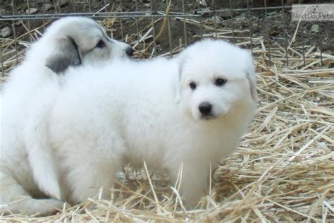 free great pyrenees puppies great pyrenees puppy photos great pyrenees puppies home breeds picture