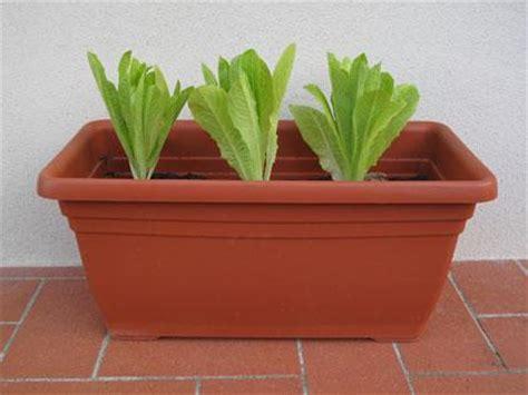 coltivare insalata in vaso coltivare lattuga sul balcone si pu 242 paperblog
